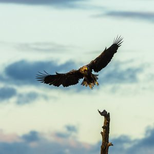 Picture of Arctic white-tailed eagle
