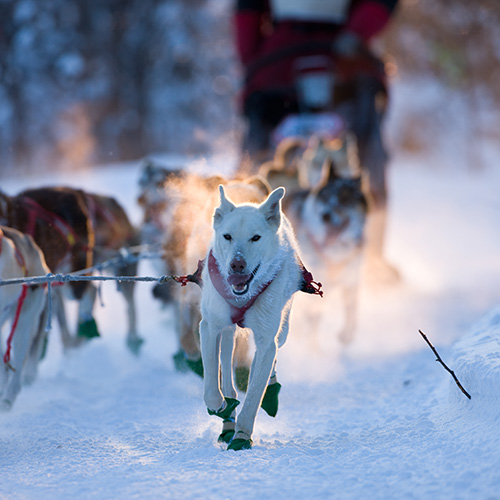 Dog sledding through the Arctic wilderness