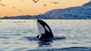 Orca emerging from the ocean at sunset